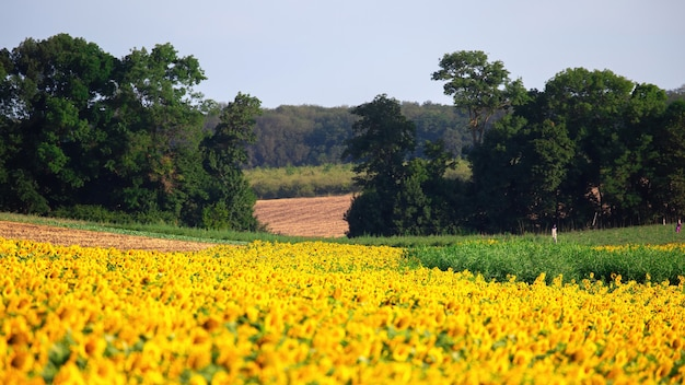 Sunflower field with trees , field and forest on the background in moldova Free Photo