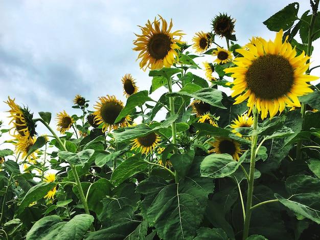 Sunflower field Free Photo