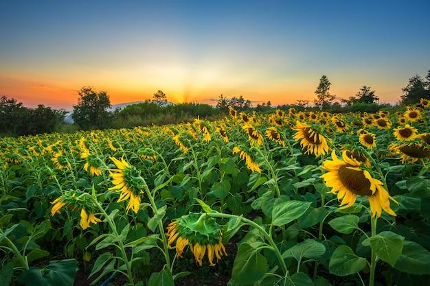 Sunflower fields in warm evening. Premium Photo