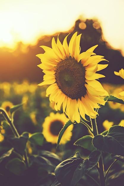 Sunflower fields with sunlight in sunset Premium Photo
