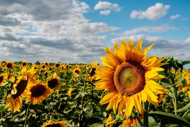 Подсолнечник в поле подсолнухов под голубым небом и красивыми облаками в сельскохозяйственном поле Premium Фотографии