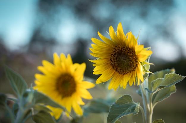芸術加工における太陽の下のひまわり農作物 Premium写真