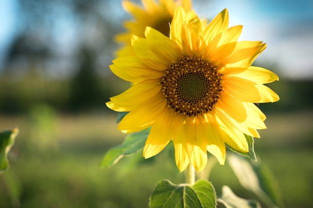 太陽の下でひまわり。 Premium写真