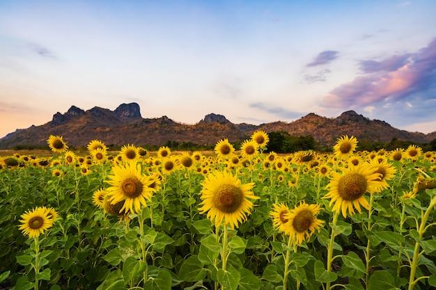 Sunflower at kao jeen lae mountain in lopburi, thailand Premium Photo