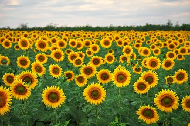 ひまわりの自然な背景。曇りの日に咲くひまわり。植物の拡大図。 Premium写真