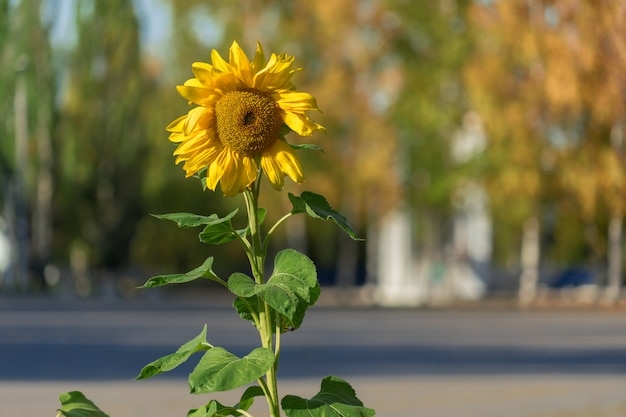 Sunflower in the park. a lone sunflower in the foreground Premium Photo