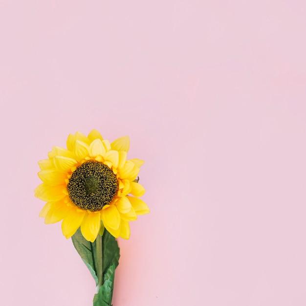 Sunflower on pink background Free Photo