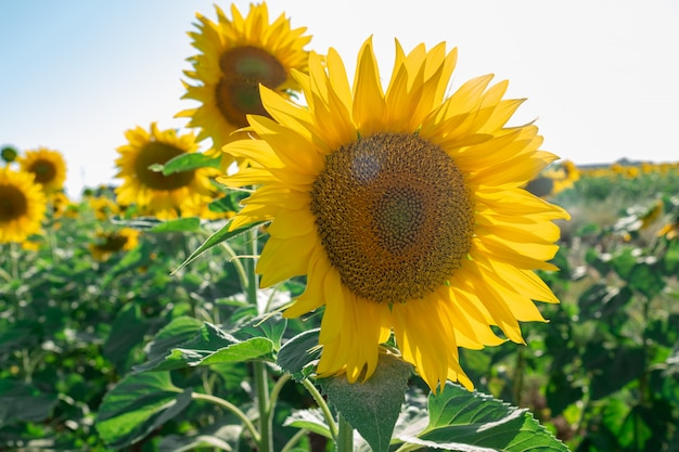 Sunflower plantation with the flower in the foreground and giving it the sun's rays Premium Photo