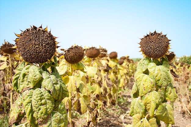 Sunflower soldiers in the field Premium Photo