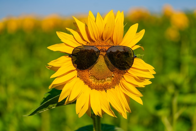Sunflower in sunglasses blossoms in the field in the summer. close-up Premium Photo