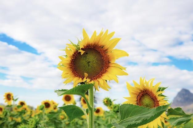 Sunflower with sky in summer Premium Photo