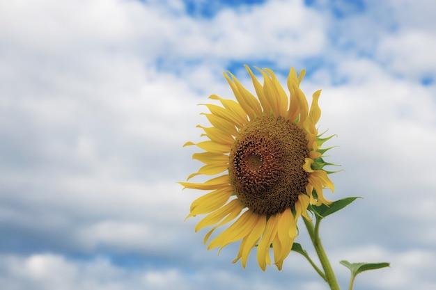Sunflower with the sky Premium Photo