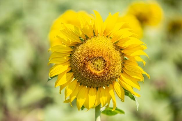 Sunflower. Free Photo