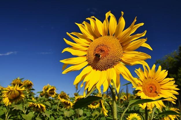 農場で咲くひまわり - 青空と雲のフィールド。美しい自然の色の背景。自然に花。 無料写真