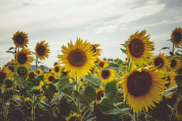 Sunflowers in a field Free Photo