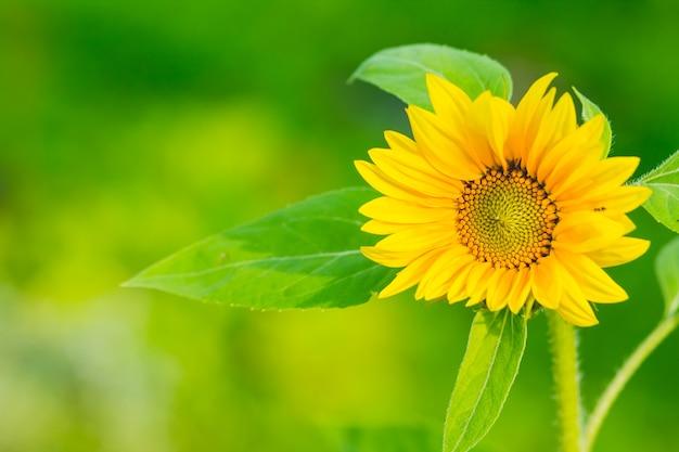 Sunflowers garden. Premium Photo