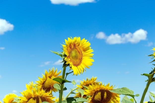 青い空の背景にひまわり農業農業農村経済農学の概念 Premium写真