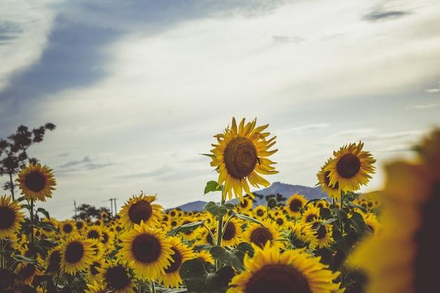 Sunflowers Free Photo