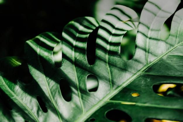 Sunlight over the green monstera leaf Premium Photo