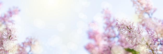 フレアとボケ味を持つ青い空を背景に太陽に照らされたライラックの枝。招待状やグリーティングカードのライラックの花の美しい開花のクローズアップデザイン。コピースペース。ワイドバナー。 Premium写真