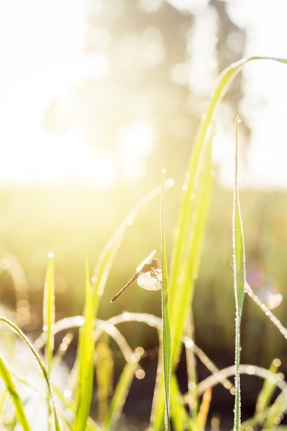 sunny morning. dragonfly sitting on a blade of grass. dew on the grass Premium Photo