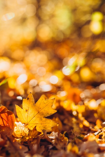 Sunrays illuminate the dry, gold beech leaves covering the forest ground Premium Photo