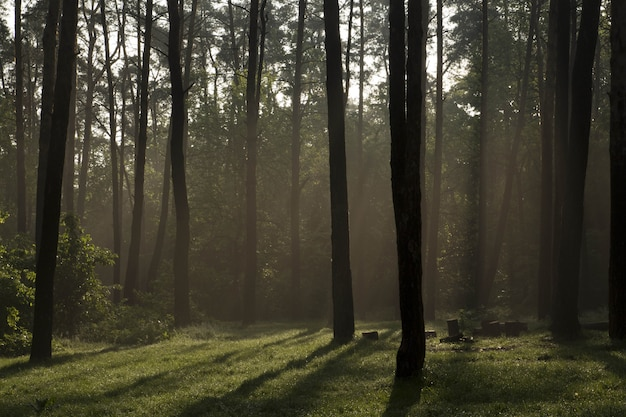 Sunrise in the forest in summer summer fog in the forest Premium Photo