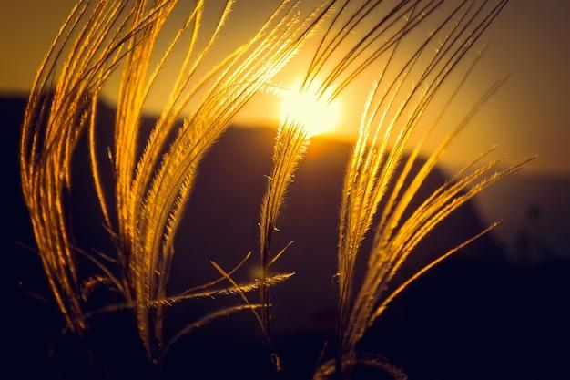 Sunset grass in sunset field background Premium Photo
