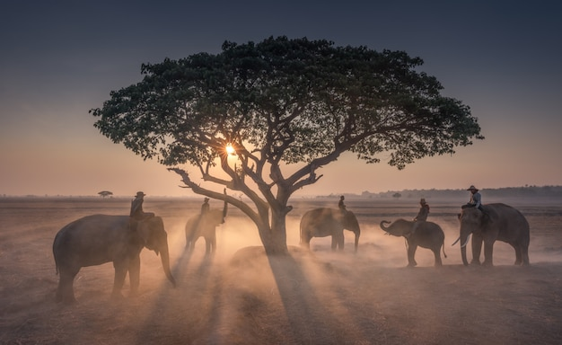 Sunset mahout with elephants in thailand Premium Photo