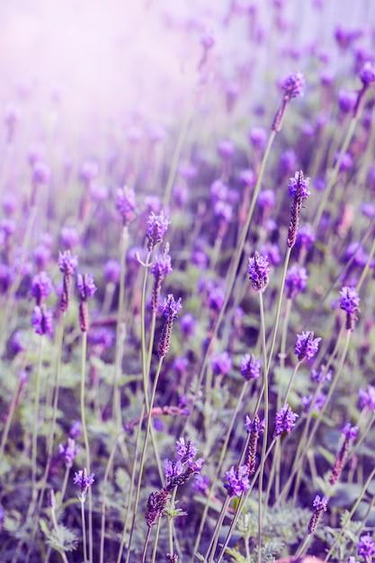 Закат над фиолетовым лавандовым полем в провансе, хоккайдо Бесплатные Фотографии