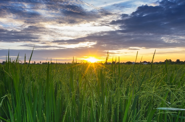 Sunset over the rice fields Premium Photo