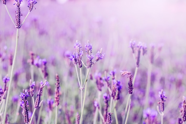 Sunset over a violet lavender field in provence,hokkaido Free Photo