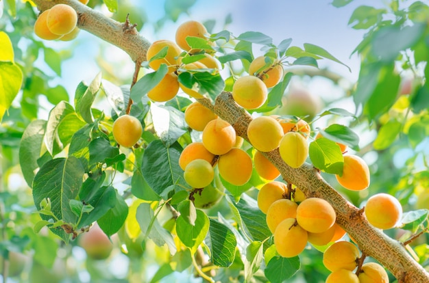 Sunshine on branches of organic apricot tree Premium Photo