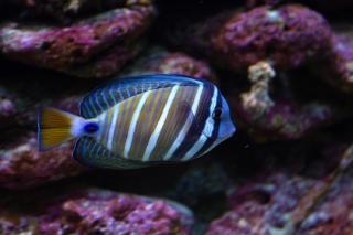 Surgeon fish  tropic Free Photo