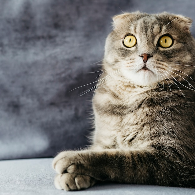 Surprised fold cat on sofa Free Photo