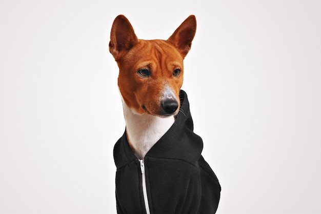 Surprised looking brown and white basenji dog in black zippered hoodie Free Photo