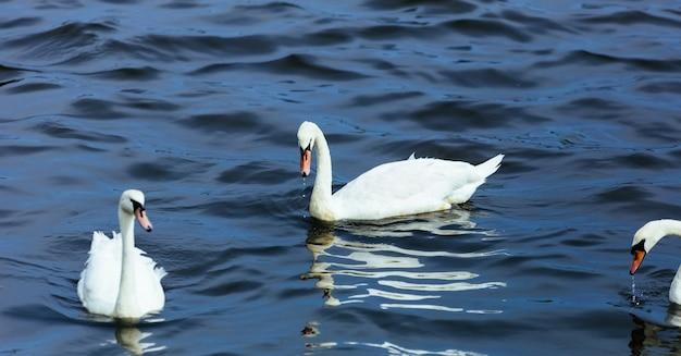 Swan lake water summer Premium Photo