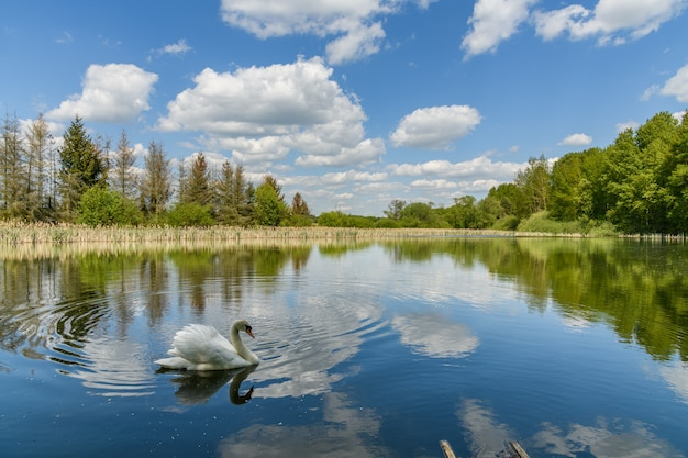 Swan on a lake with mirrored blue sky with white clouds, trees and reeds on shore Premium Photo