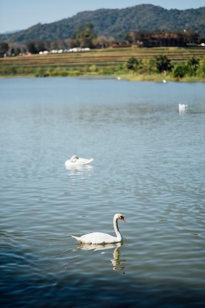 Swan in lake Free Photo