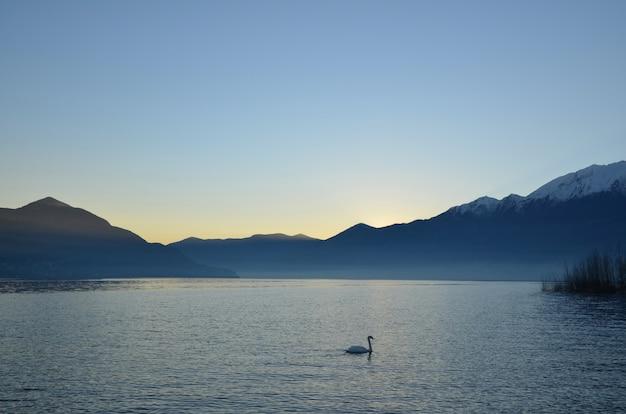 Swan nuotare nel lago maggiore alpino con montagne al tramonto in ticino, svizzera Foto Gratuite