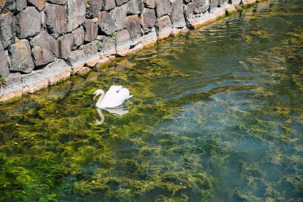 Swan swimming in lake Free Photo