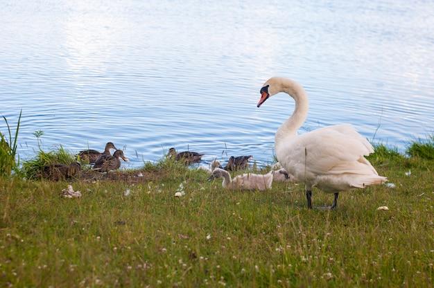 白鳥は、シグナス属に属するアナ科の鳥です。白鳥の近親者にはガチョウとアヒルが含まれます。亜科anserinaeのガチョウと密接に関連する白鳥は、cygnini族を形成します。 Premium写真
