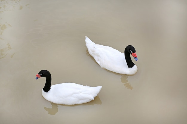 Swans floating in pond. Premium Photo