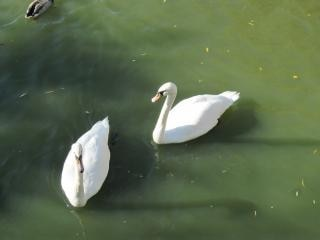 湖の白鳥 無料写真
