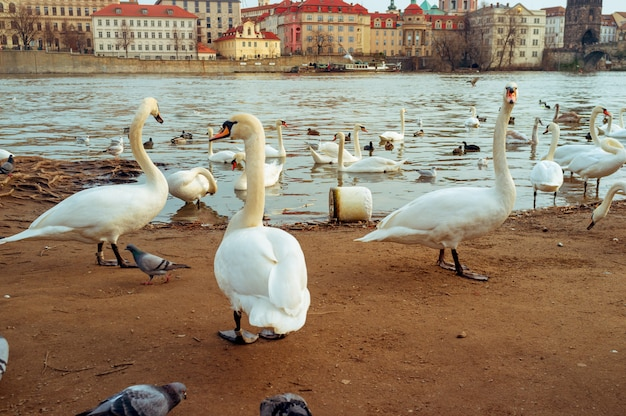 Swans in prague on the river landscape  czech capital, white swans on the river next to the charles bridge, czech republic, tourism Premium Photo