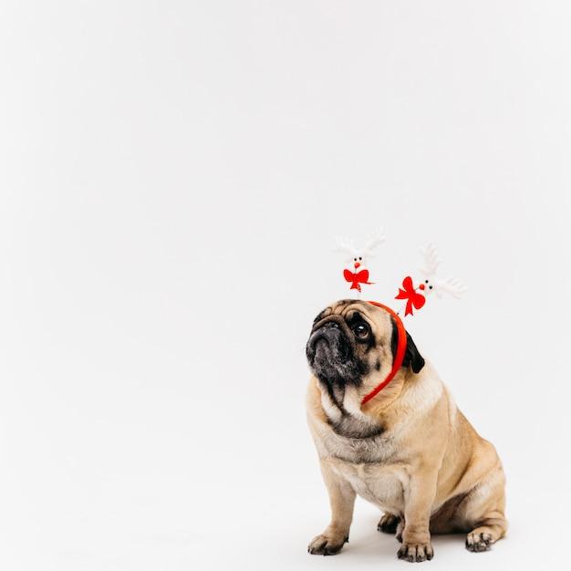 Sweet pug in xmas deer costume ears Free Photo