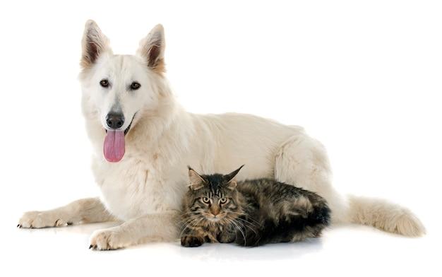 Swiss shepherd and cat Premium Photo