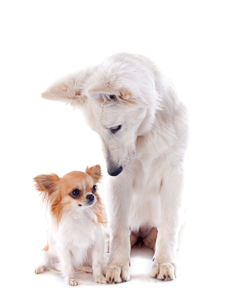 Swiss shepherd and chihuahua Premium Photo
