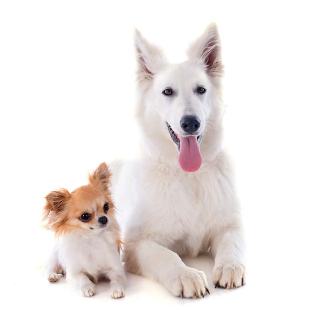 Swiss shepherd and chihuahua Premium Photo