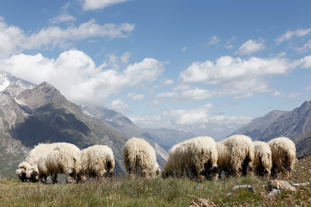 Swiss woolly sheep grazing on top of the cliffs of alpine mountains before being sheared. Premium Photo